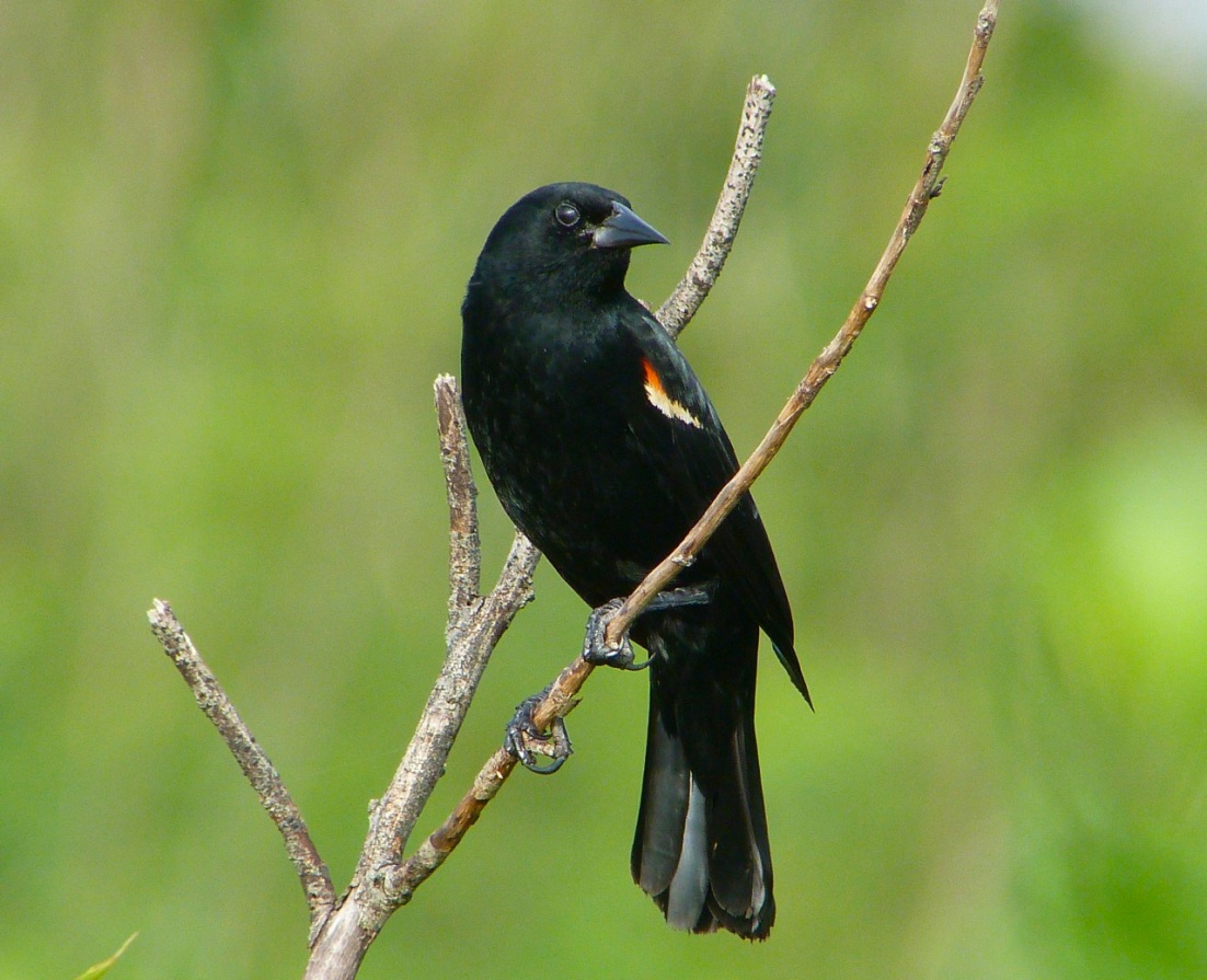 Red-winged Blackbird Abaco Bahamas 4