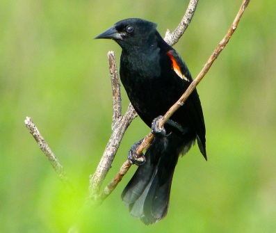 Red-winged Blackbird Abaco Bahamas 5