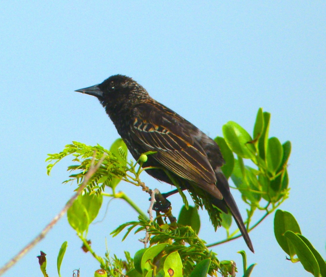 Red-winged Blackbird Abaco Bahamas 6