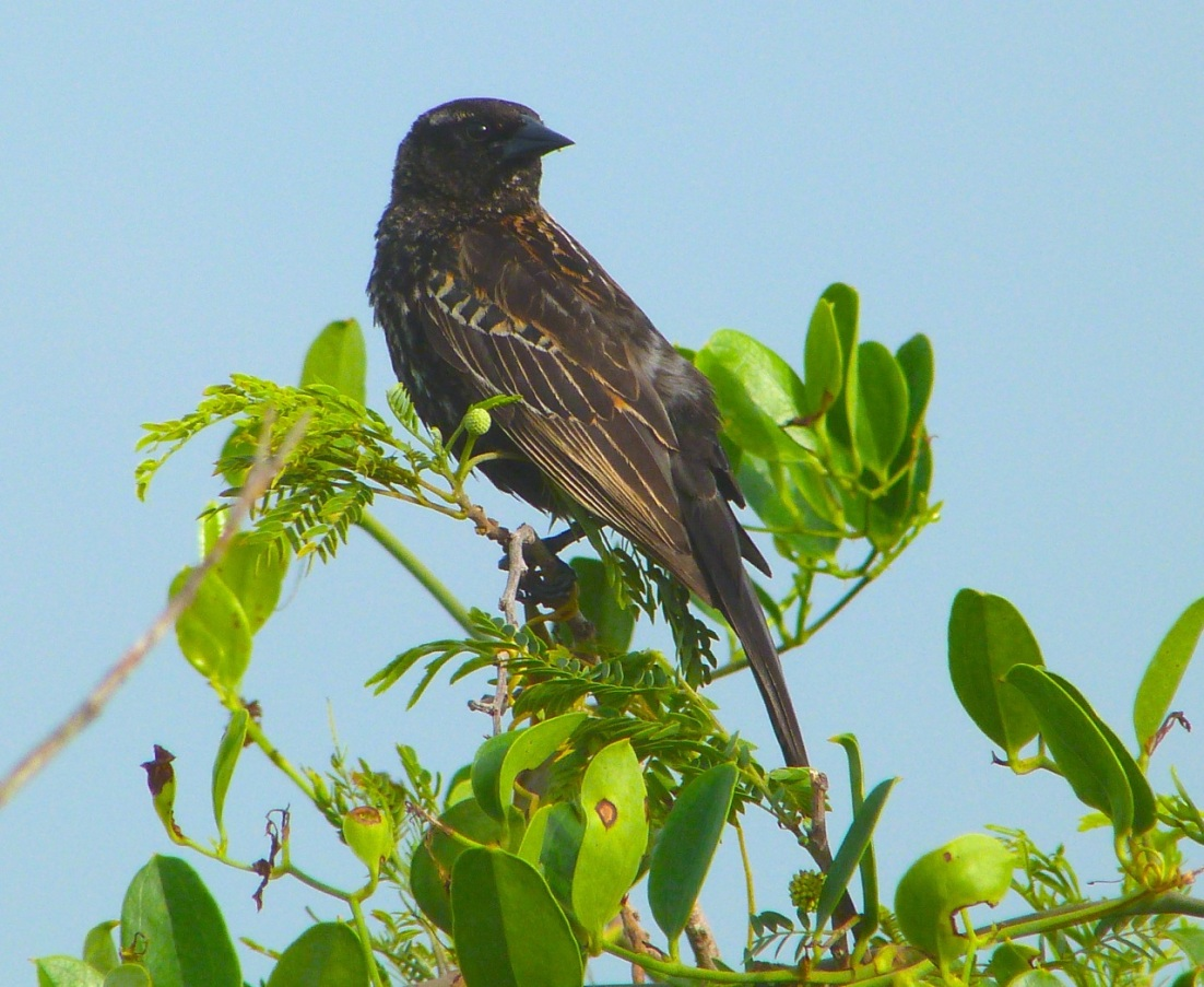 Red-winged Blackbird Abaco Bahamas 7