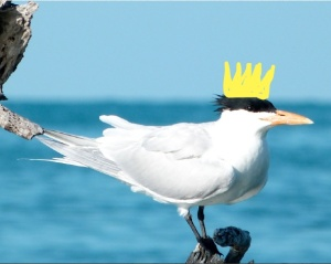 Royal Tern Crowned