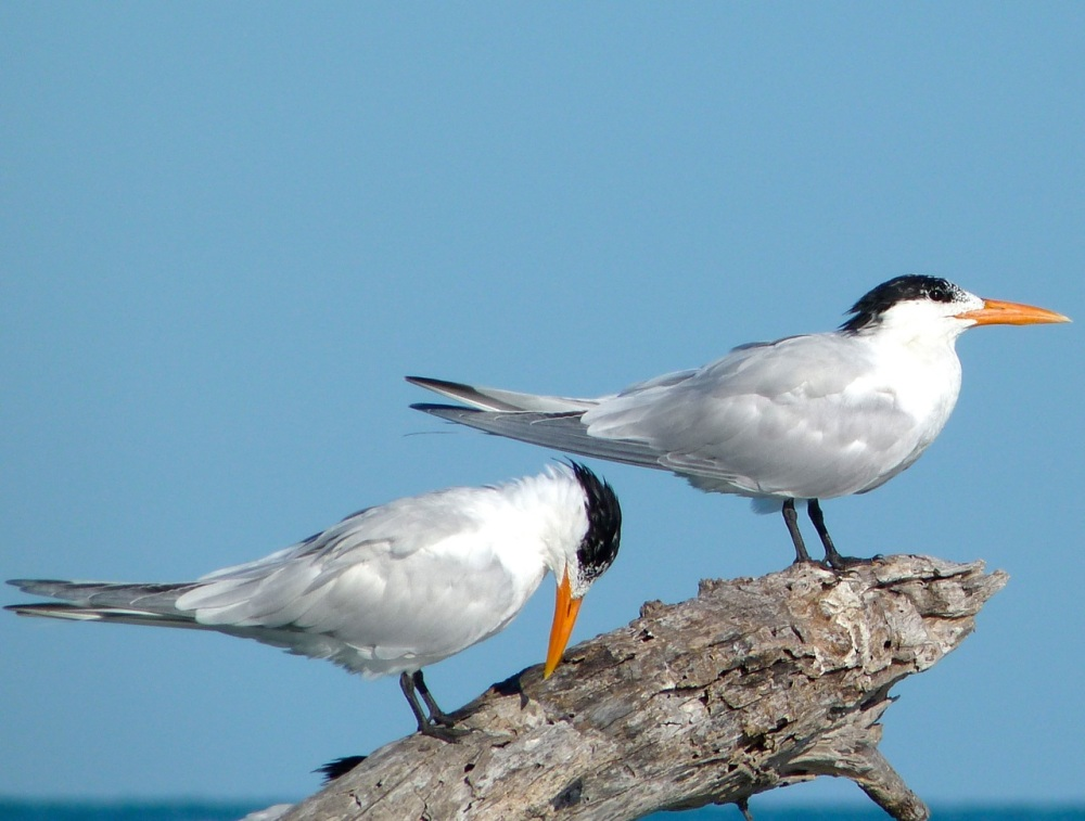 Royal Tern, Abaco Bahamas (Keith Salvesen)