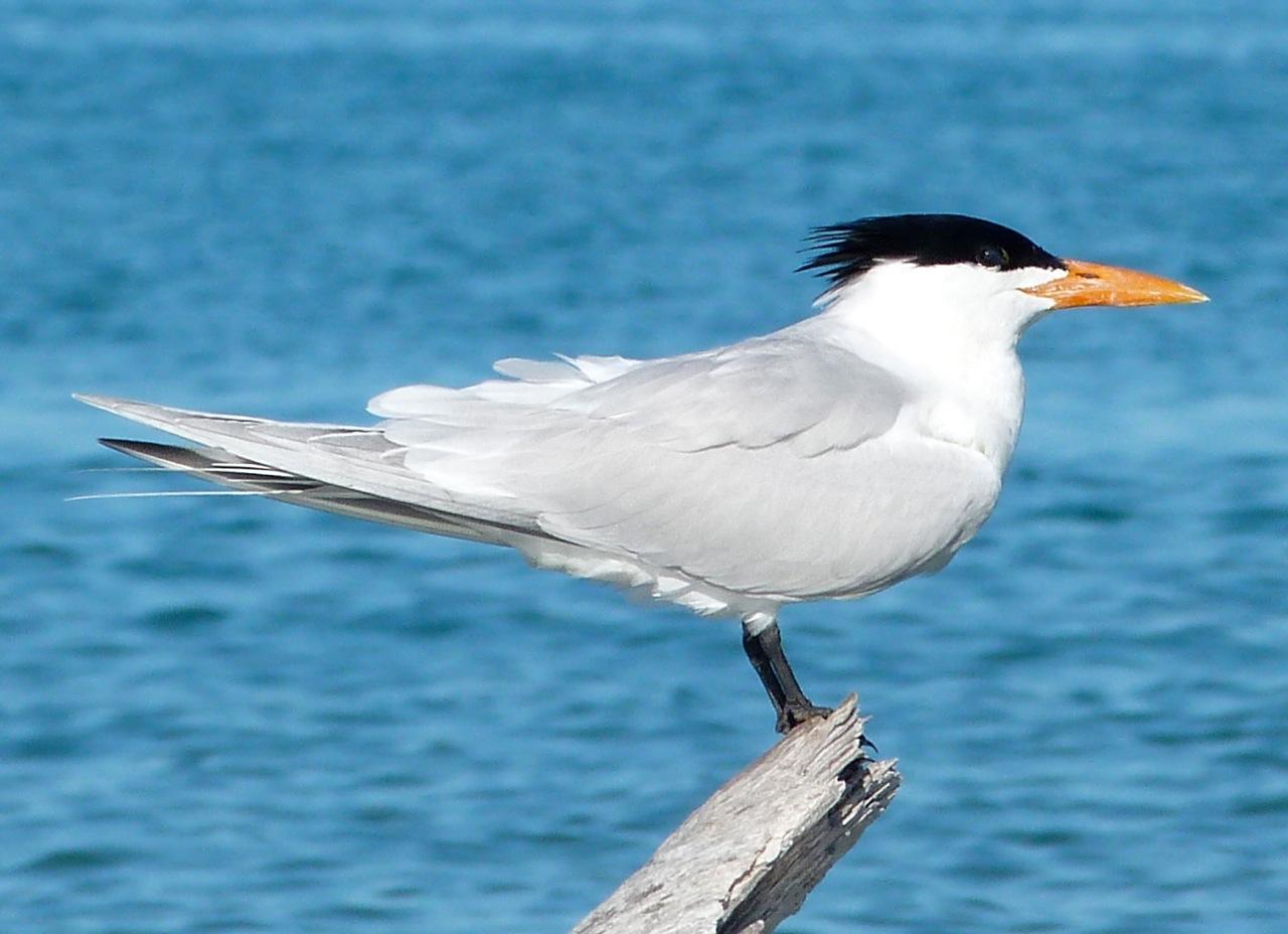 Royal Terns Abaco (2) 2 (Keith Salvesen)