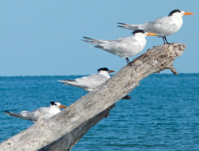 Royal Terns Abaco (2) 4