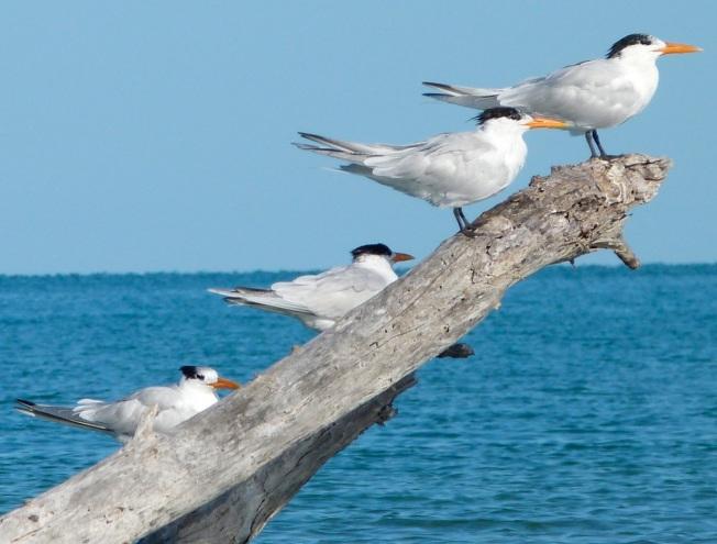 Royal Terns Abaco (2) 4
