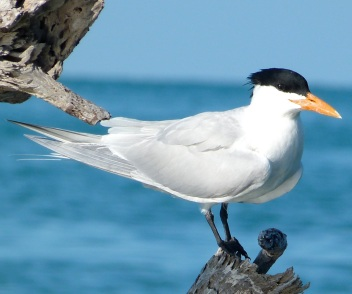 Royal Tern Abaco (Keith Salvesen)