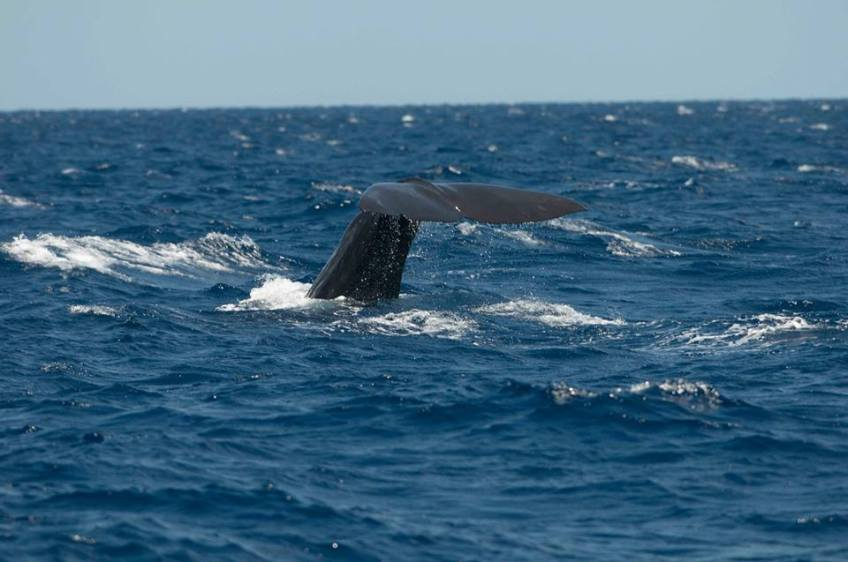 Sperm Whale tailing