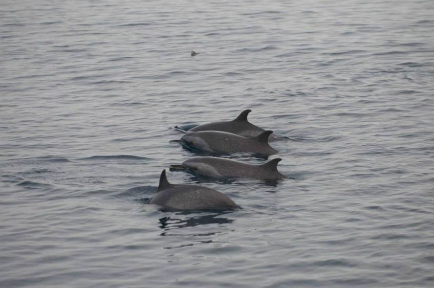 Spotted Dolphins x 4