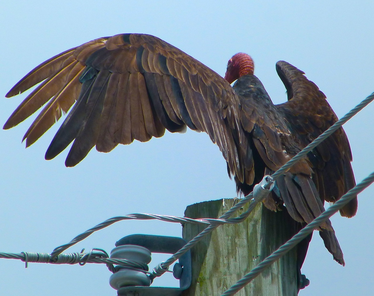 Turkey Vulture Abaco Bahamas (Keith Salvesen)