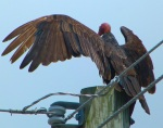 Turkey Vulture Abaco - Delphi  (Keith Salvesen)