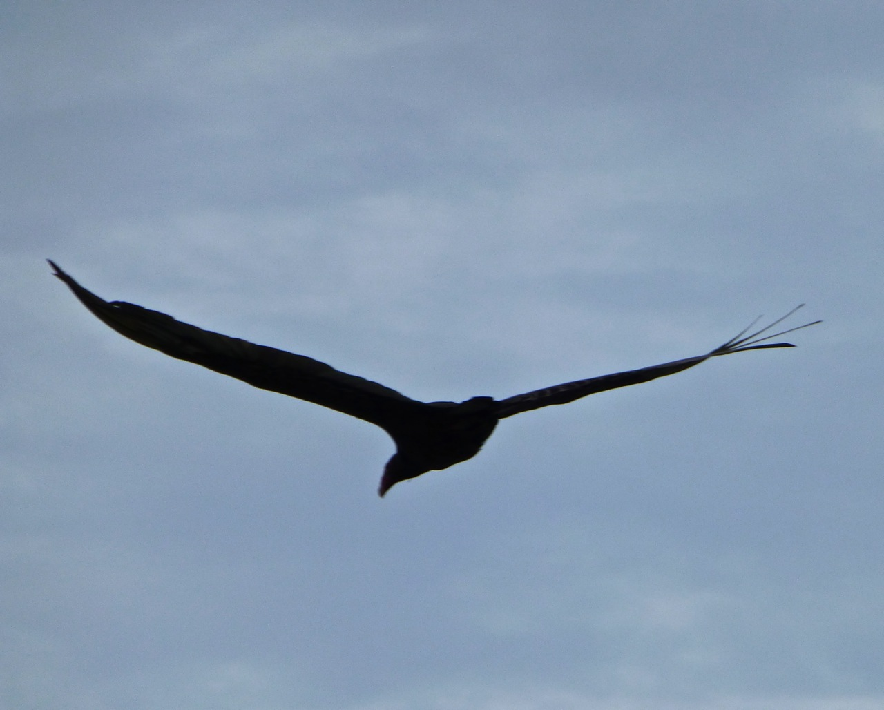 Turkey Vulture Abaco CL 1