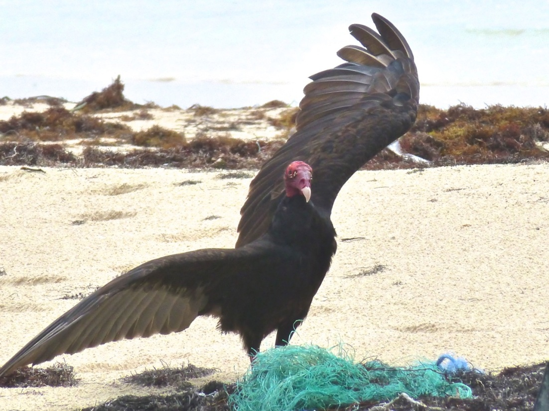 'CARRION SCAVENGING': TURKEY VULTURES ON ABACO | ROLLING ...