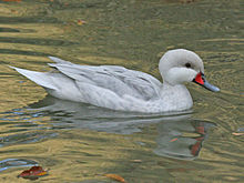 220px-White-cheeked_Pintail_white_morph_RWD