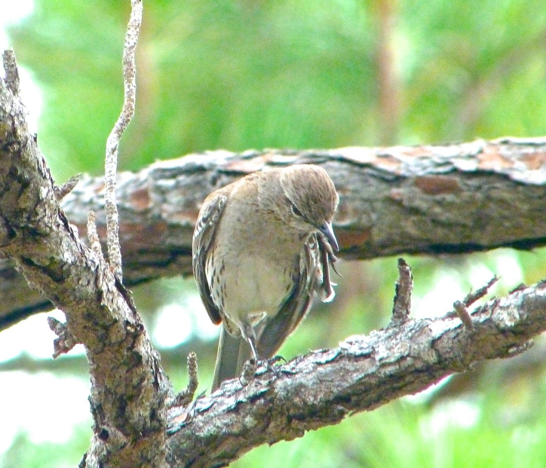 Bahama Mockingbird 5