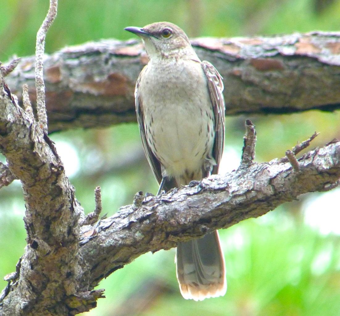 Bahama Mockingbird, Abaco 1