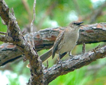 Bahama Mockingbird, Abaco (Keith Salvesen)