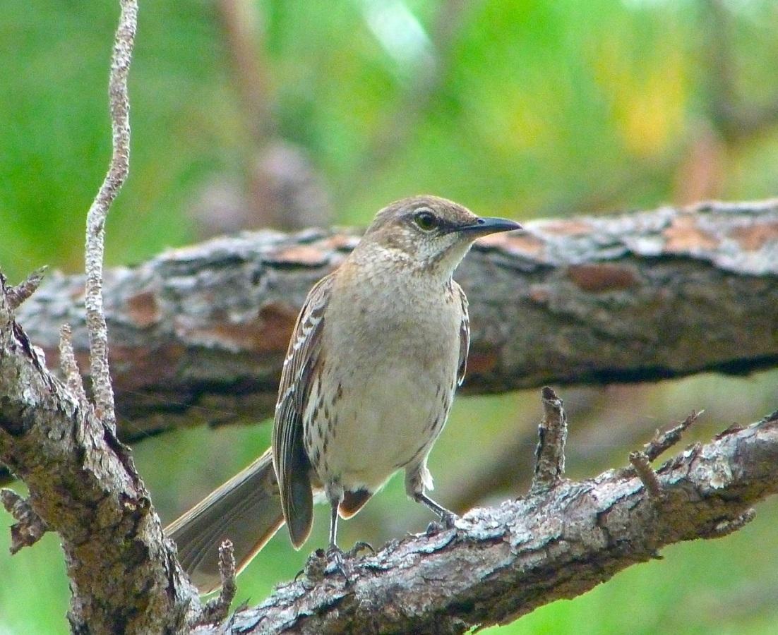 Bahama Mockingbird, Abaco 4