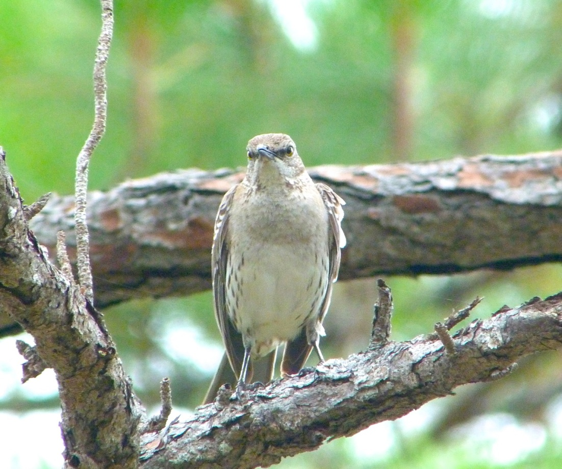 Bahama Mockingbird, Abaco 6