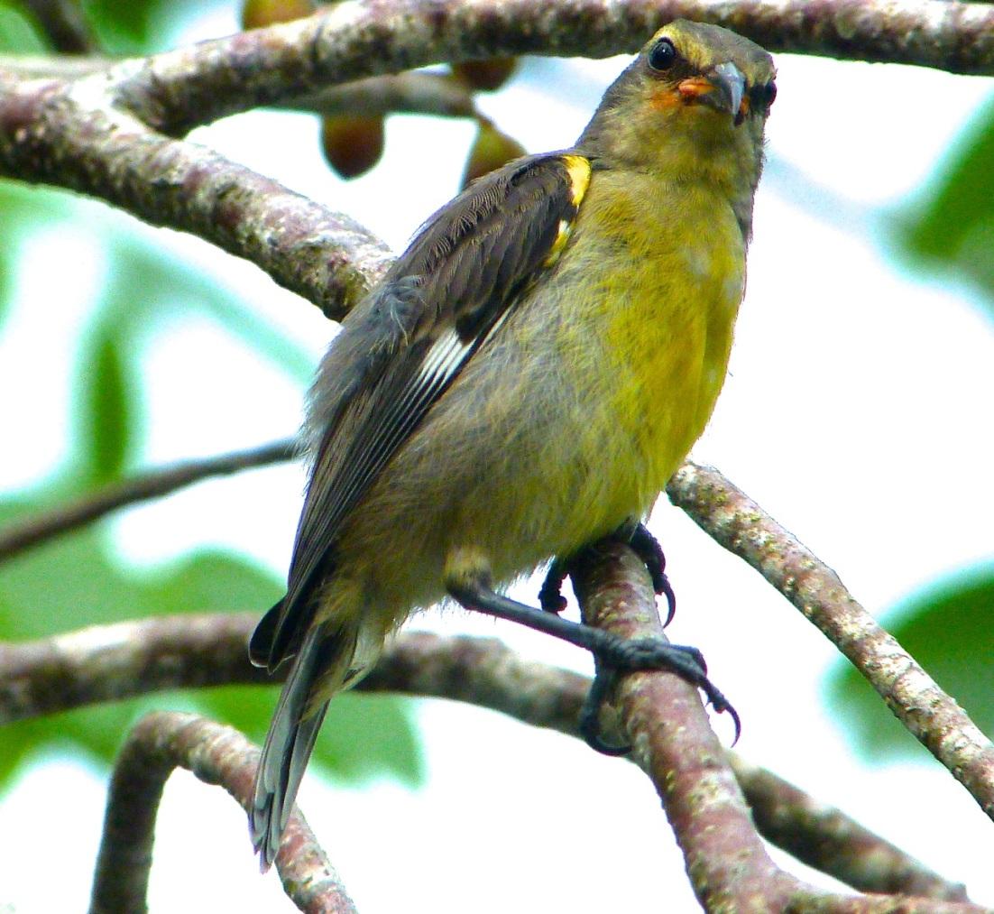 Bananaquit (juv) Abaco, Bahamas 6