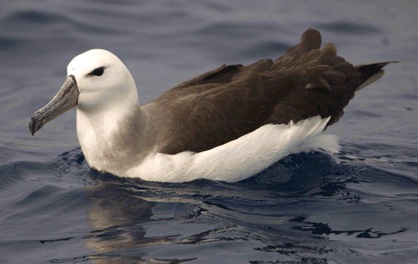 Black-browed Albatross, Abaco © DC BMMRO