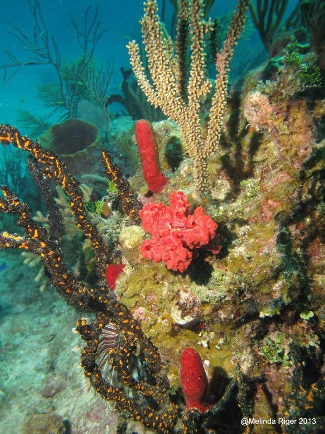 Coral ©Melinda Riger @ G B Scuba 1