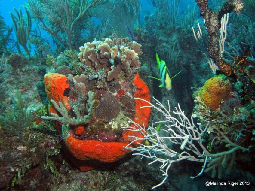 Coral ©Melinda Riger @ G B Scuba 2