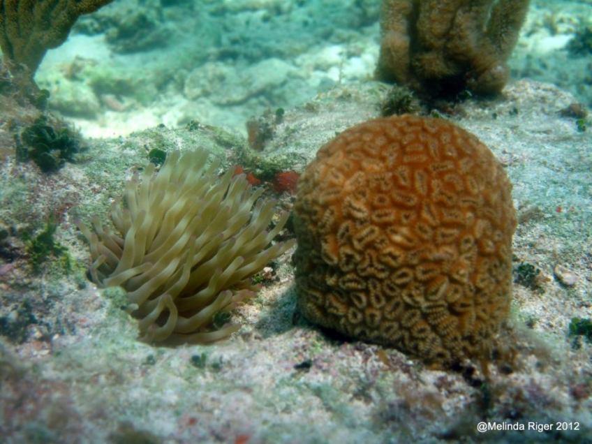 Coral ©Melinda Riger @GBS
