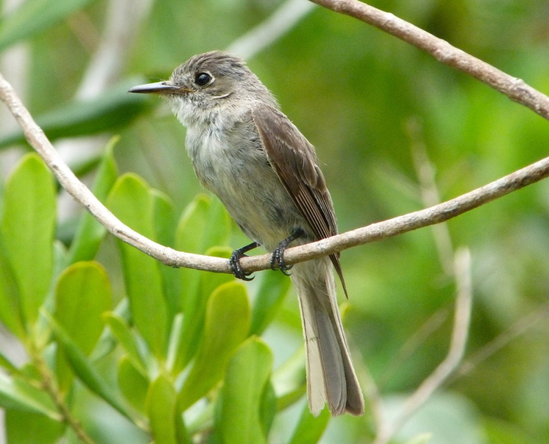 Crescent-eyed (Cuban) Pewee on Abaco 1