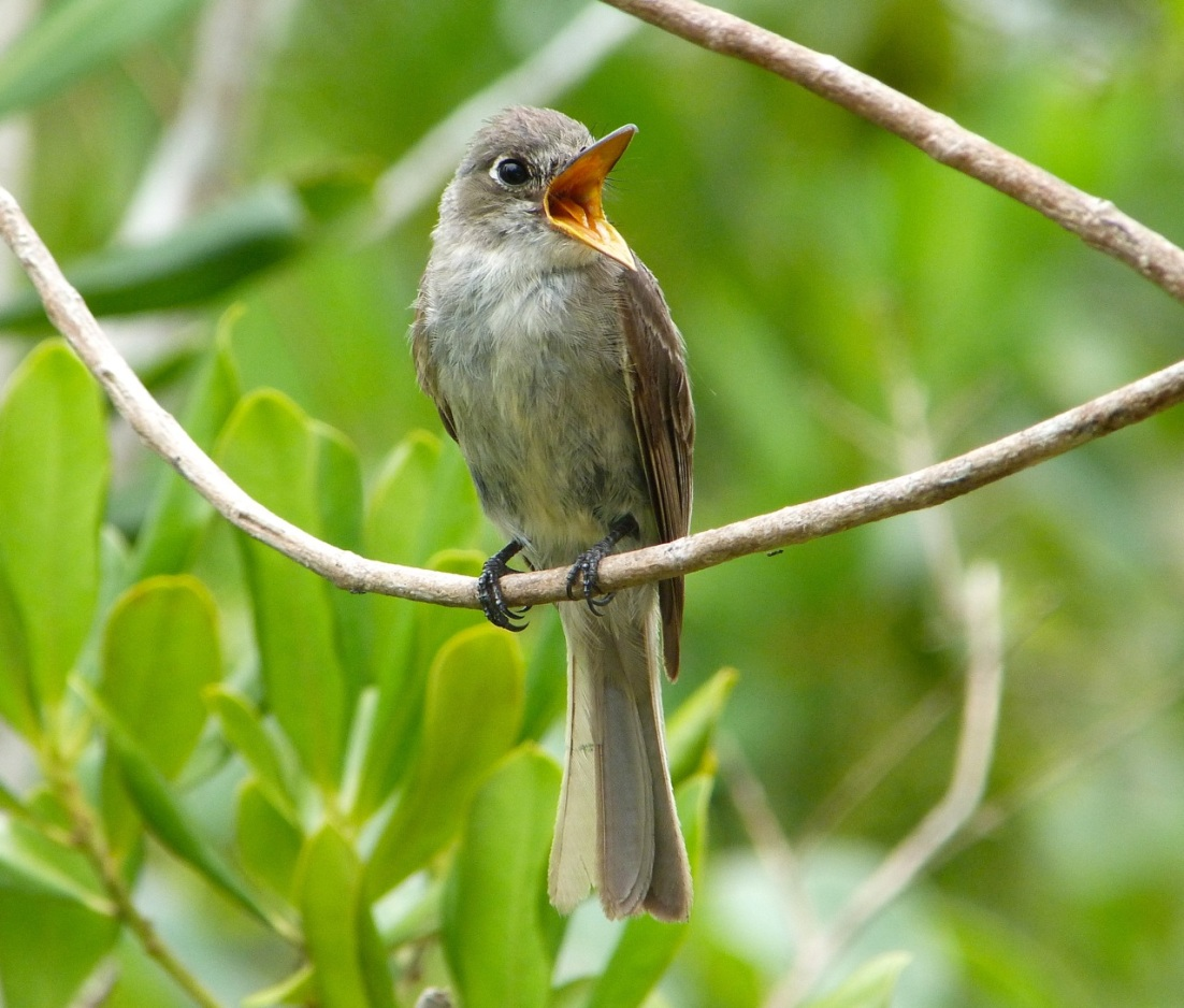 Crescent-eyed (Cuban) Pewee on Abaco 2