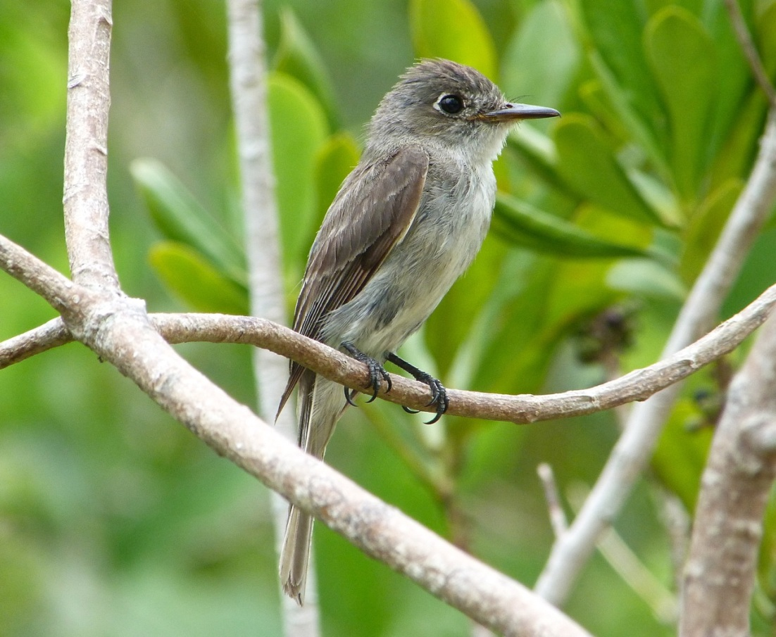 Crescent-eyed (Cuban) Pewee on Abaco 3