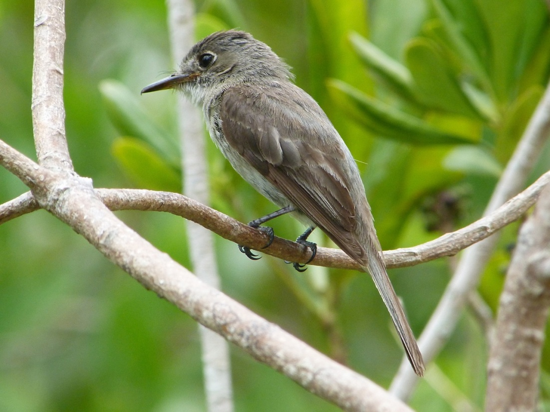 Crescent-eyed (Cuban) Pewee on Abaco 4