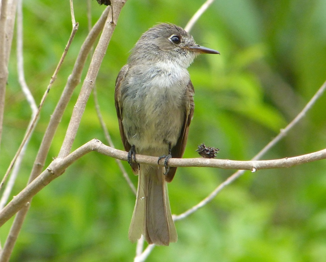Crescent-eyed (Cuban) Pewee on Abaco 5