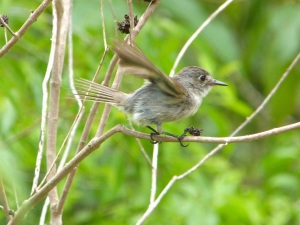 Crescent-eyed (Cuban) Pewee on Abaco 6