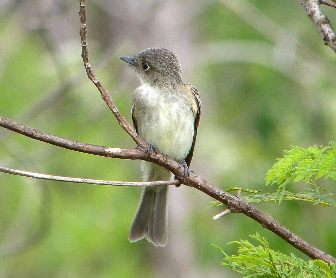 Crescent-eyed (Cuban) Pewee on Abaco 7