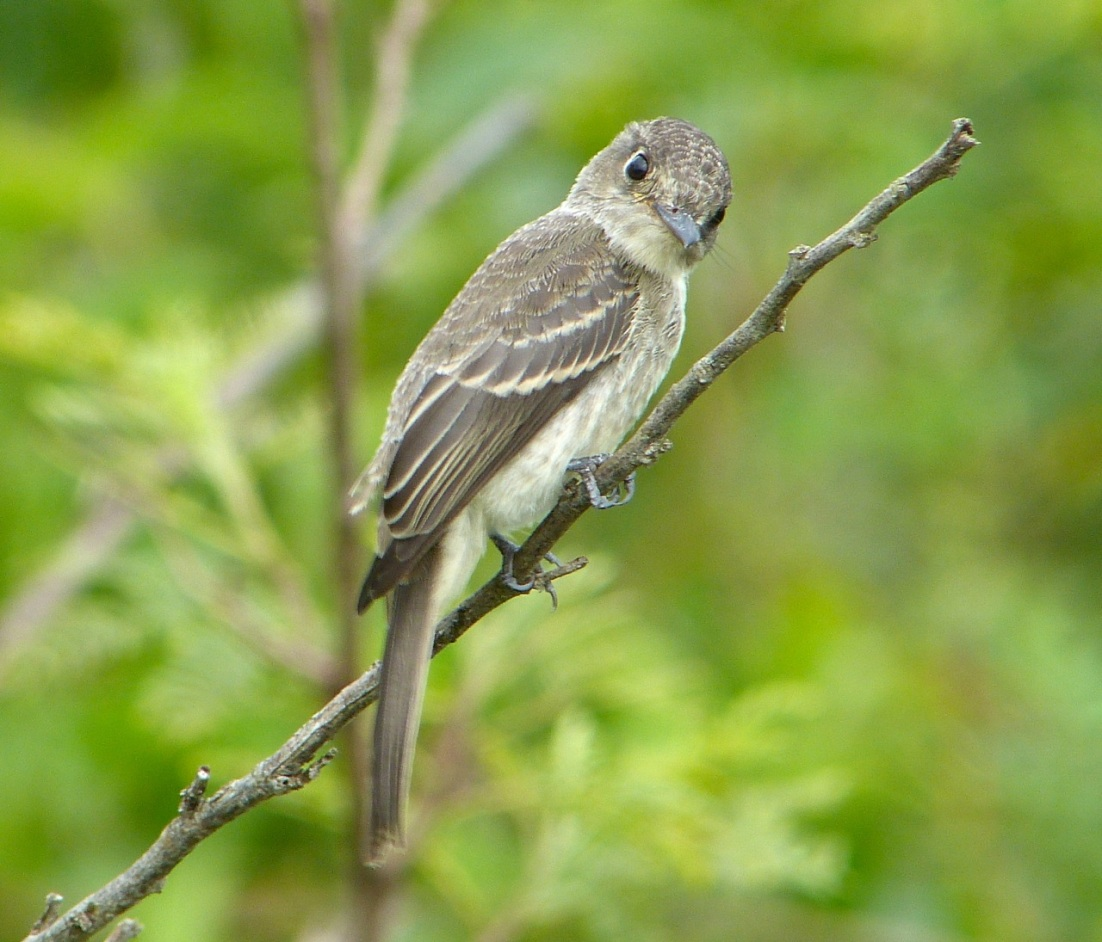 Crescent-eyed (Cuban) Pewee on Abaco 8