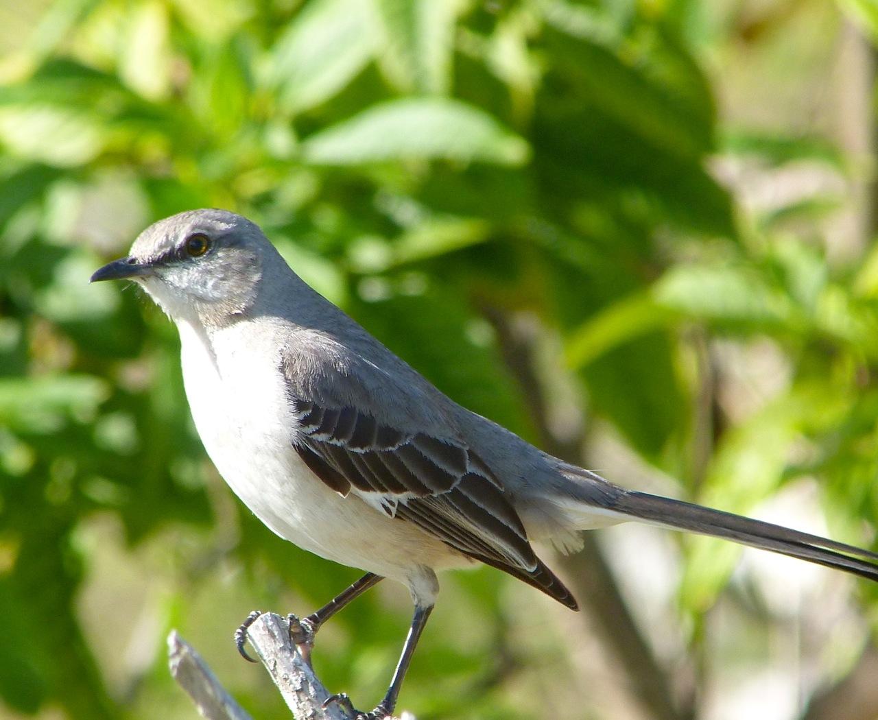 Northern Mockingbird, Abaco 1