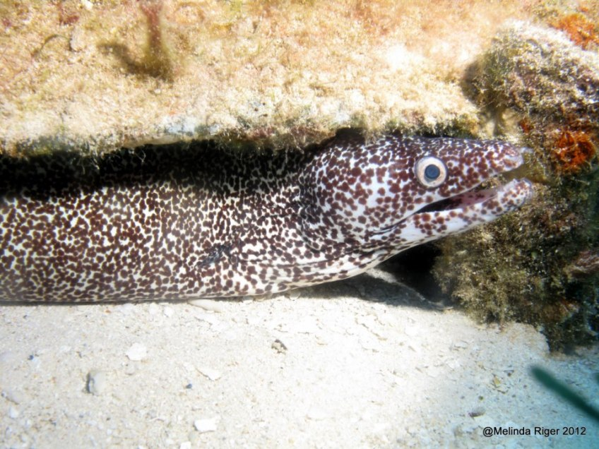 Spotted Moray Eel ©Melinda Riger @ GBS