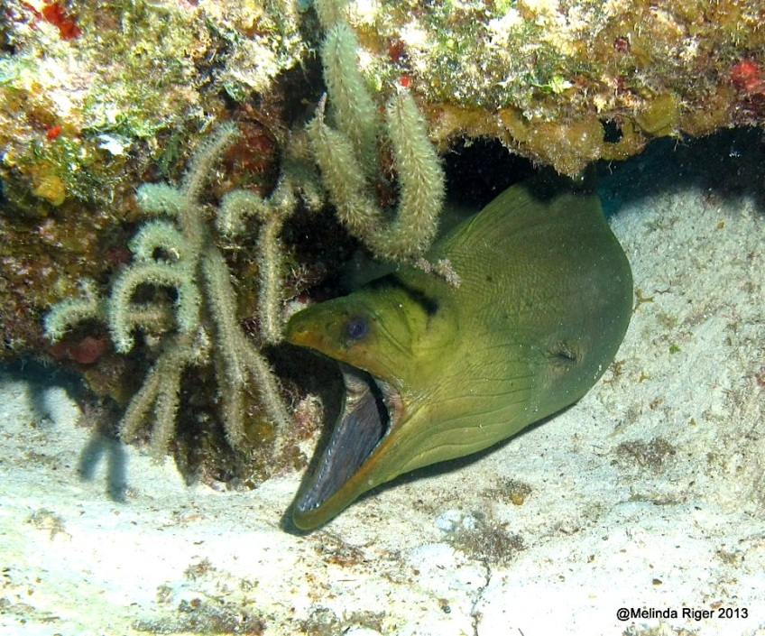 Wasabi the Moray Eel