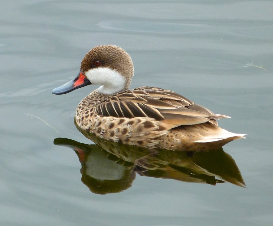 White-cheeked Pintail, Abaco 1 (Keith Salvesen)