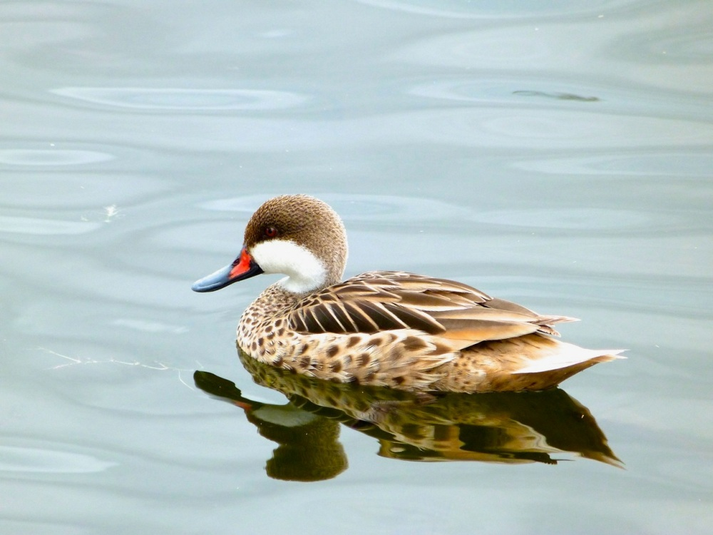 White-cheeked (Bahama) Pintail, Abaco (Keith Salvesen)