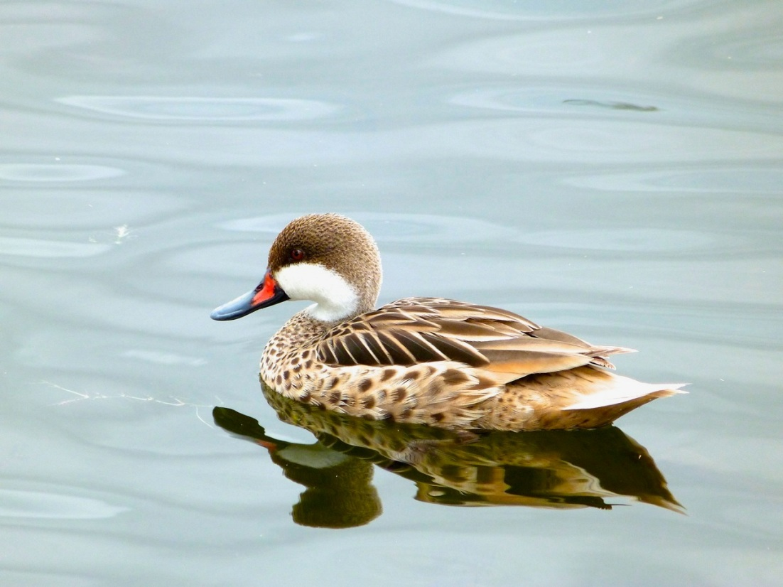 White-cheeked (Bahamas) Pintail, Abaco (Keith Salvesen)