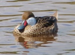 White-cheeked Pintail, Abaco - Gilpin Pond - Keith Salvesen