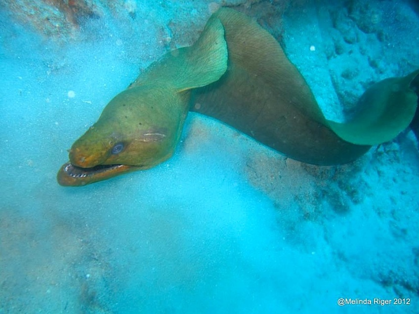 Yellow Moray Eel©Melinda Riger @GBS copy