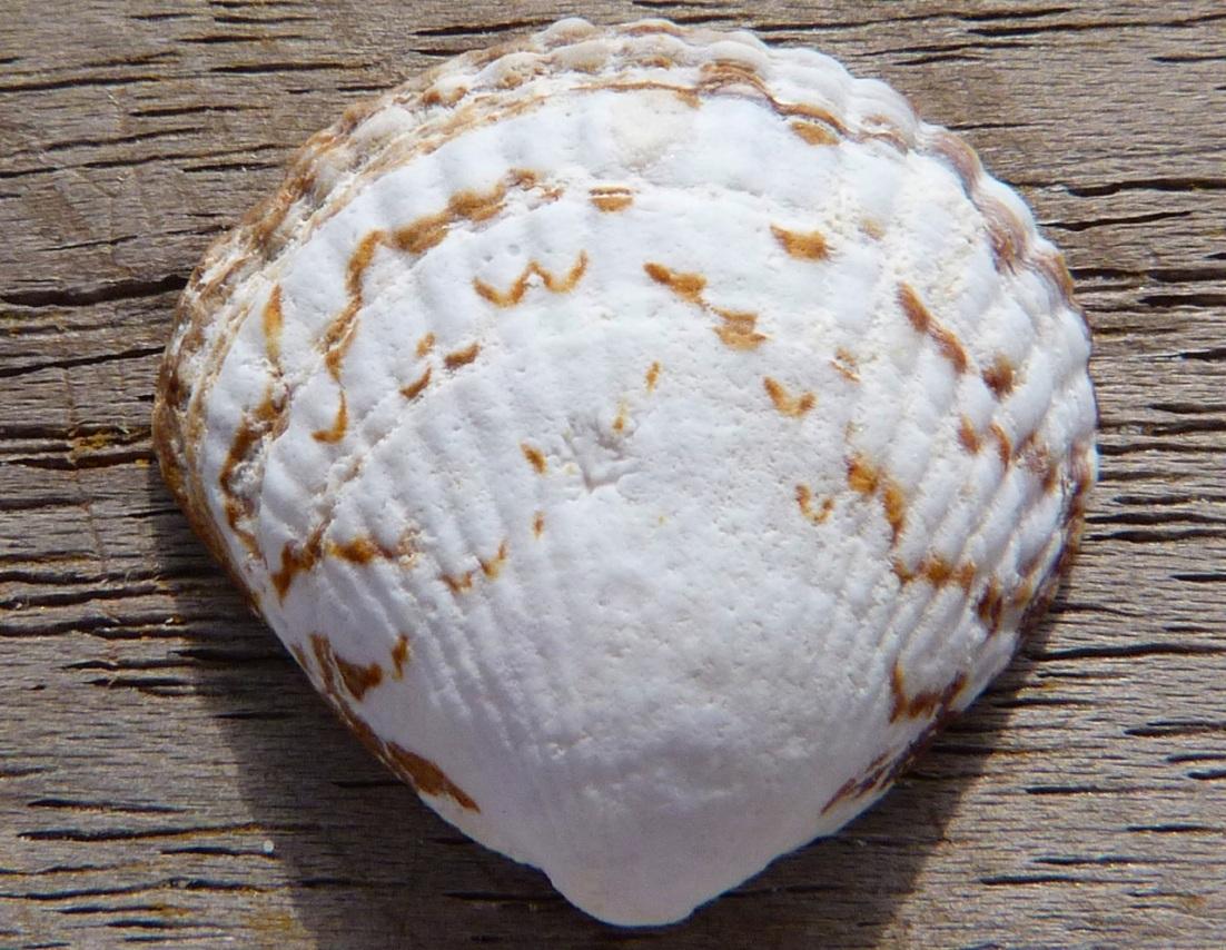Abaco Shell 1