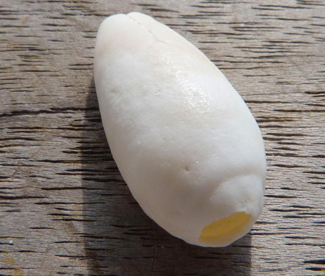 Abaco Shell 3a