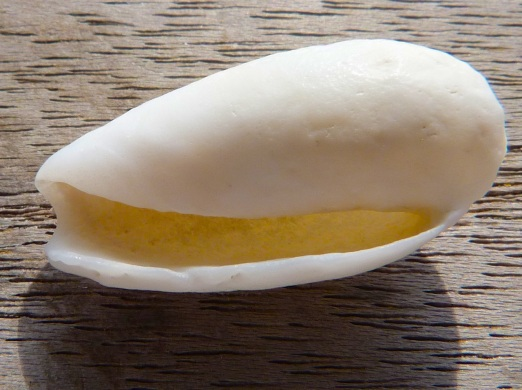 Abaco Shell 3b