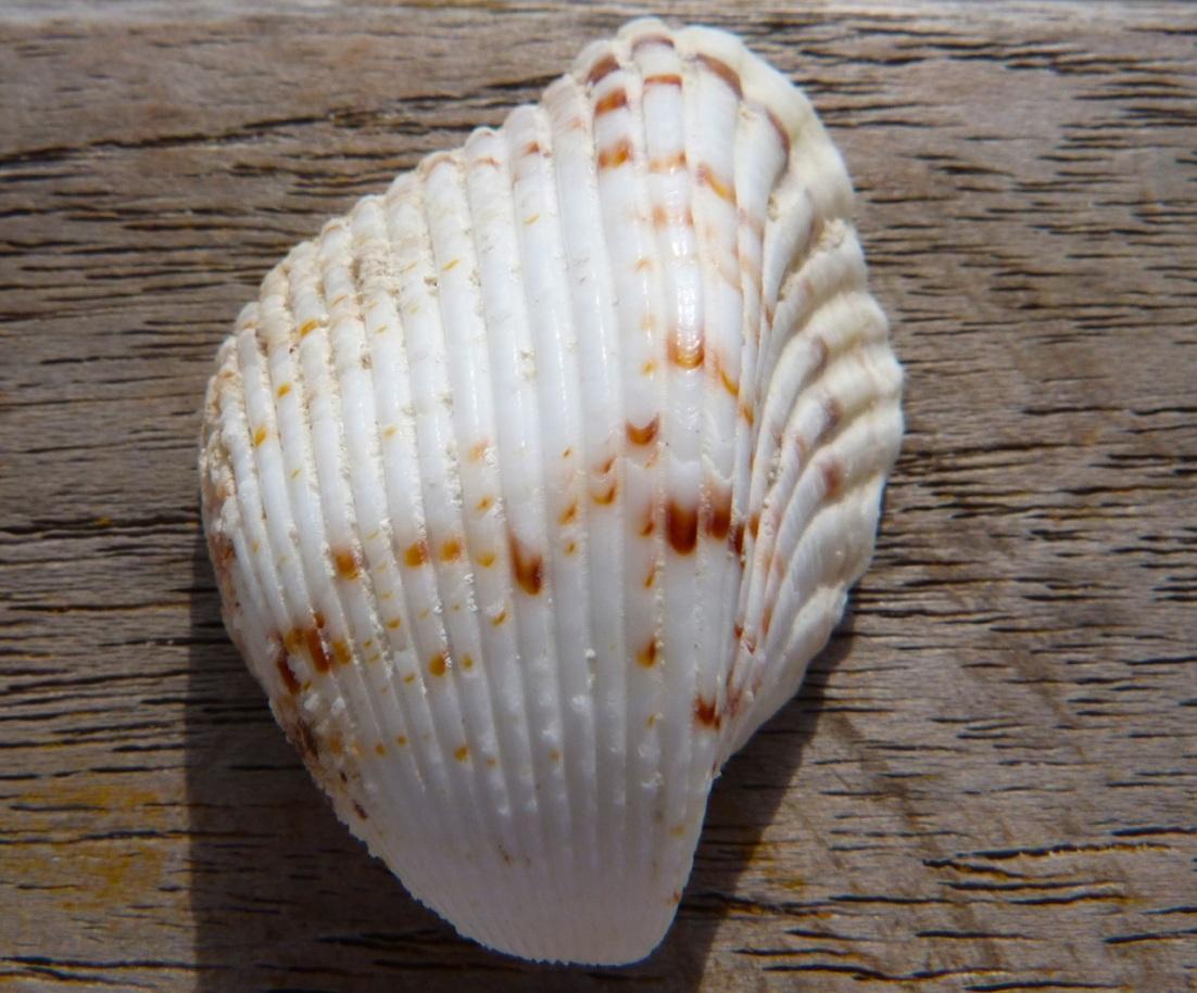 Abaco Shell 5