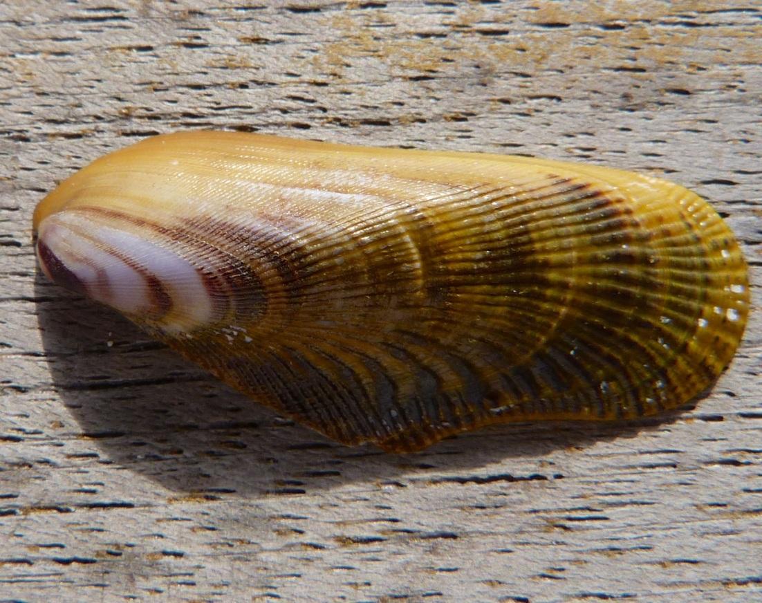 Abaco Shell 6