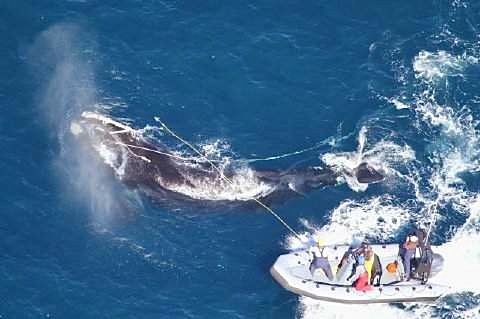Right Whale entangled in 280 ft of rope