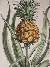 Commelin - Engraving - Ananas - Hortus Botanicus 1697